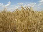 Altered Wheat May Pose a Risk