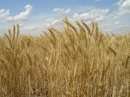 Altered Wheat May Pose a Risk — That Gym Guy Personal
